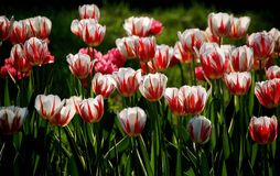 Tulips. Red-in-white colored tulip flowers blooming under sunshine in spring royalty free stock photography