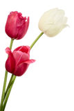 Tulips Royalty Free Stock Photography