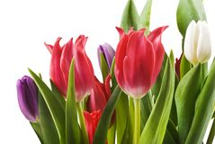 Tulips in red white and purple Royalty Free Stock Images