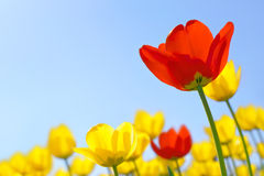 Tulips red and yellow Royalty Free Stock Images