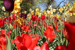 Tulips fiels yellow forest Netherland Royalty Free Stock Photos