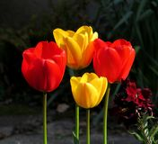 Tulips, red and yellow, erect, beautiful, in bright sunlight. Four tulips, red and yellow, perfectly erect, in a square/triangular pattern, seen in a patch of royalty free stock photos
