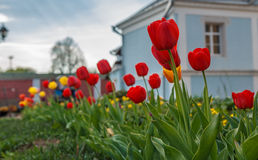 Tulips. Red and yellow tulips. A flower bed, a spring mood.n royalty free stock image