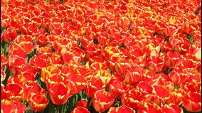 Tulips stock footage