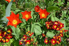 Tulips and red and yellow primroses Stock Photos