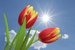 Tulips red and yellow striped, against blue sky with clouds Stock Image