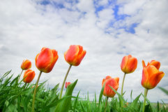 Tulips rising up to the sun. Green field on background Royalty Free Stock Image