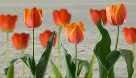 Tulips on road background Stock Photos