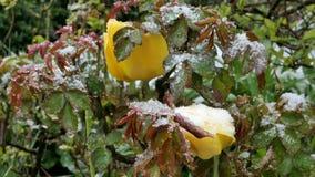 Garden  after sudden snowfall in april. Tulips and rose petals after sudden snowfall in april stock video