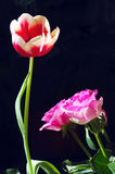 Tulips and roses Royalty Free Stock Photography