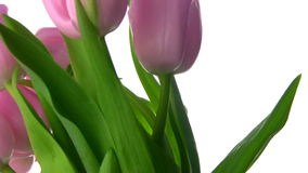 Tulips rotate. Fresh and tender tulips rotate, showing buds and juicy stems and leaves. Close-up stock video