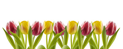 Tulips in a row Stock Image