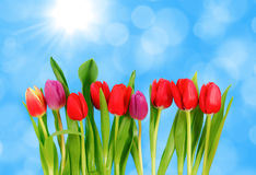 Tulips in row Royalty Free Stock Image