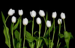 Tulips in a row Royalty Free Stock Photo