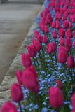 Tulips in a row Royalty Free Stock Image