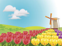 Tulips in rows with windmill Royalty Free Stock Photography