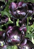 Tulips roxos Fotografia de Stock