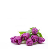 Tulips roxos com gotas Fotos de Stock