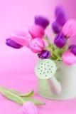 Tulips roxos e cor-de-rosa Fotos de Stock Royalty Free