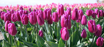 Tulips roxos Pinkish foto de stock