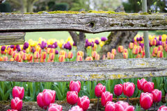 Tulips and rustic wooden horizontal fence beam Royalty Free Stock Image