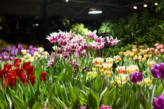 Tulips for sale for the holidays at the greenhouse. Growing flowers tulips for sale for the holidays at the greenhouse Royalty Free Stock Image