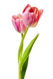 Tulips Salmon Pink Red Orange Tulip Flowers Isolated Stock Images