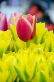 Tulips season at Redmond farmer market Stock Image
