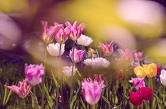 Tulips. Seasonal flowers; tulips in the nature Stock Photo