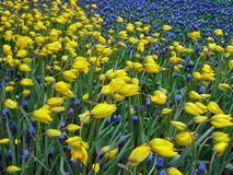 Tulips selvagens Imagens de Stock Royalty Free