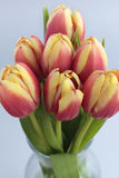 Tulips. Seven red tulips in close up view Stock Photography