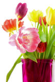 Tulips,sharp and blur. In pink vase, isolated on white background stock image