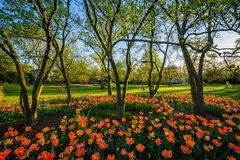 Tulips at Sherwood Gardens Park, in Guilford, Baltimore, Maryland royalty free stock image