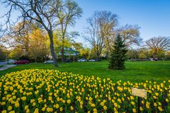 Tulips at Sherwood Gardens Park, in Guilford, Baltimore, Maryland stock photos