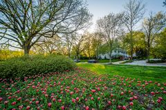 Tulips at Sherwood Gardens Park, in Guilford, Baltimore, Maryland.  royalty free stock images