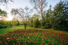 Tulips at Sherwood Gardens Park, in Guilford, Baltimore, Maryland.  stock photos