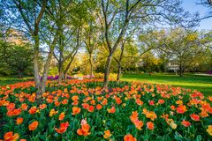Tulips at Sherwood Gardens Park, in Guilford, Baltimore, Maryland royalty free stock photos