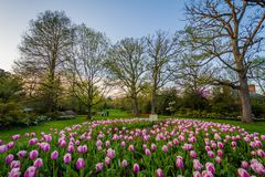 Tulips at Sherwood Gardens Park, in Guilford, Baltimore, Maryland stock photo