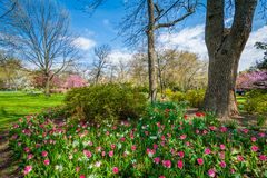 Tulips at Sherwood Gardens Park in Guilford, Baltimore, Maryland stock photo