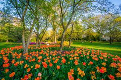 Tulips at Sherwood Gardens Park, in Guilford, Baltimore, Maryland stock images