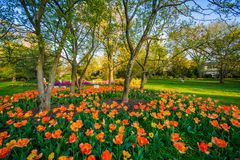 Tulips at Sherwood Gardens Park, in Guilford, Baltimore, Maryland.  royalty free stock photography