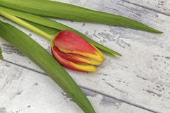 Tulips. Showing some tulips laying on a wooden top Royalty Free Stock Photo
