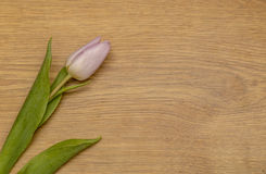 Tulips. Showing some tulips laying on a wooden top Stock Photo