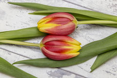 Tulips. Showing some tulips laying on a wooden top Royalty Free Stock Photos