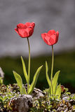 Tulips. Showing wild tulips in an outdoor setting Stock Image