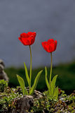 Tulips. Showing wild tulips in an outdoor setting Royalty Free Stock Photo