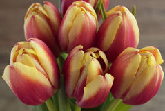 Tulips. Six red tulips in close up view Stock Photography