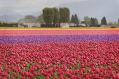 Tulips in the Skagit Valley Stock Photos