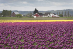 Tulips in the Skagit Valley Royalty Free Stock Image