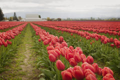 Tulips in the Skagit Valley Royalty Free Stock Photo